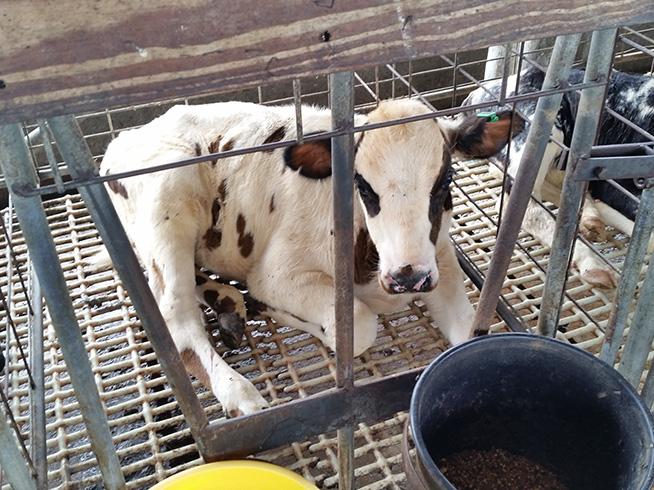Adding electrolytes to milk or milk replacer